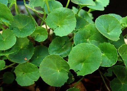 Gotu Kola planta medicinal